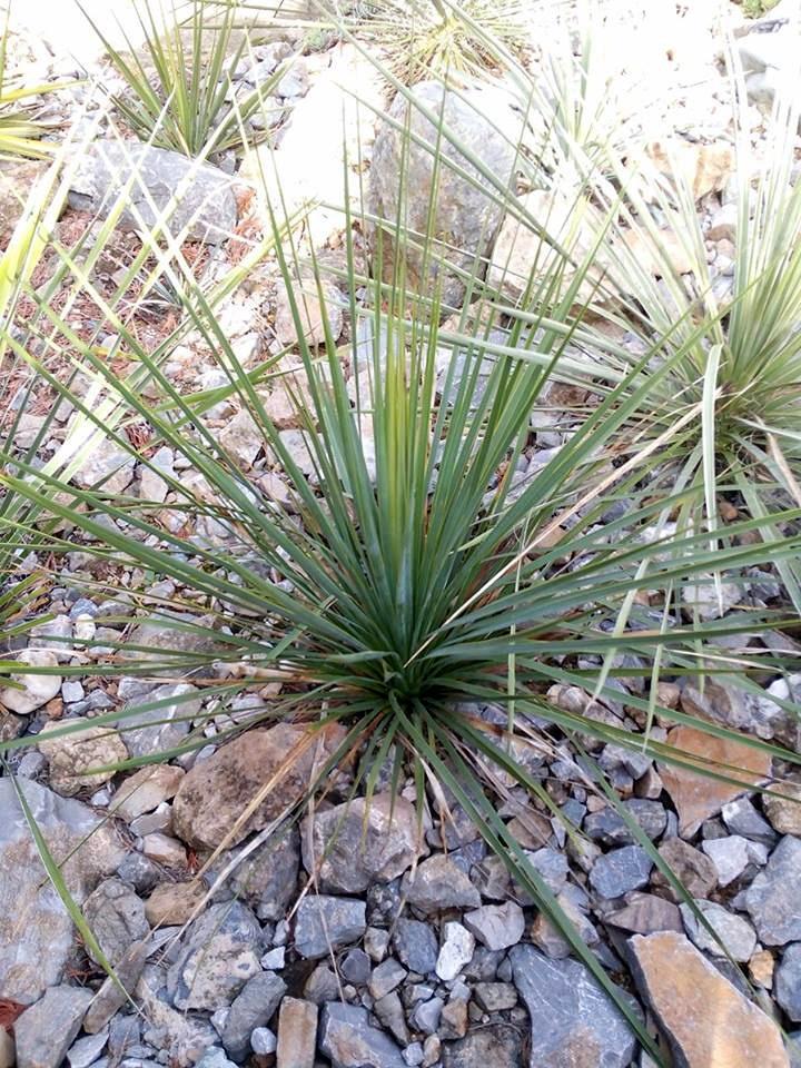 Mrazuodolné juky - rod Yucca - Stránka 10 14699908_1222777871122163_1713795862_n_zpsl2bdbnxl