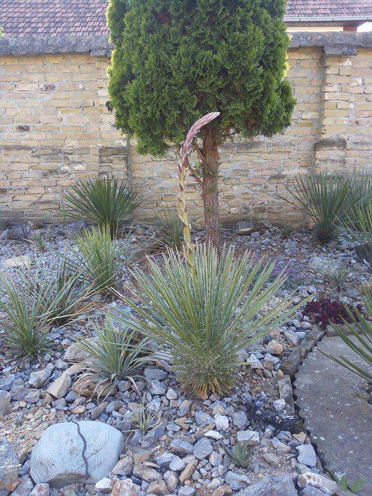 Mrazuodolné juky - rod Yucca - Stránka 11 1_zpsiv3oedxi