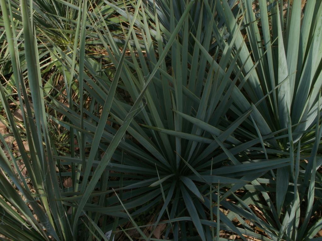 Mrazuodolné juky - rod Yucca - Stránka 10 P1010271_zpsx3vm1kl9