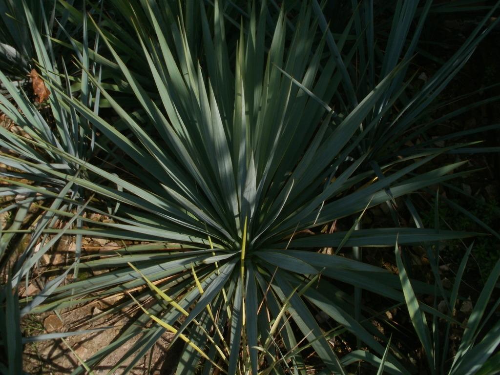 Mrazuodolné juky - rod Yucca - Stránka 10 P1010272_zps21rwtlll