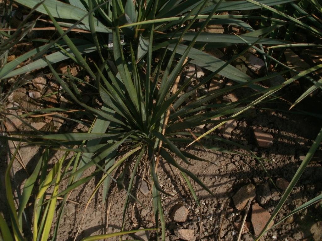 Mrazuodolné juky - rod Yucca - Stránka 10 P1010273_zpsfgczmfxm