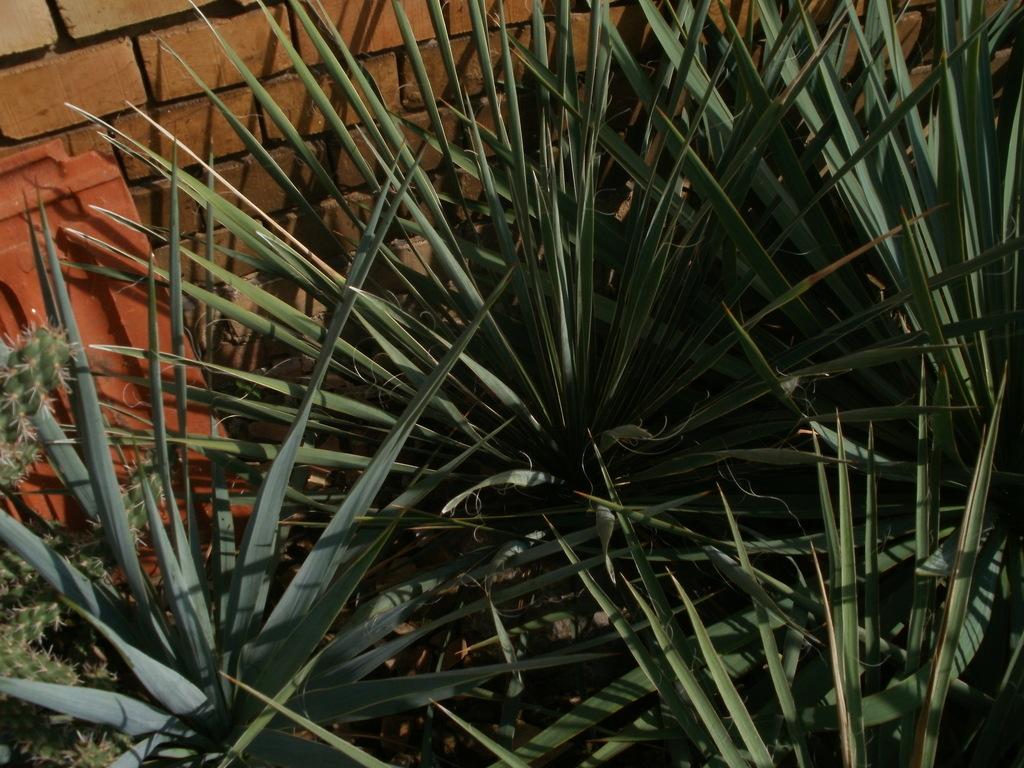 Mrazuodolné juky - rod Yucca - Stránka 10 P1010275_zpsz65nudai