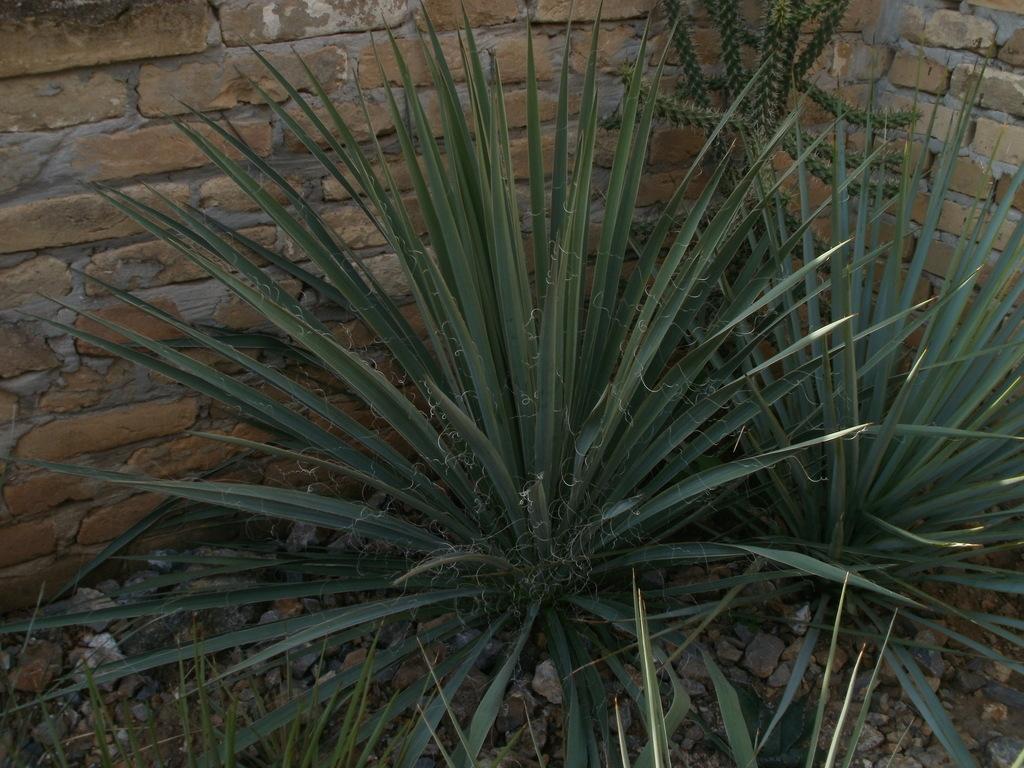Mrazuodolné juky - rod Yucca - Stránka 10 P1010277_zps6qle3tej