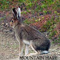 PARTIZANSKAYA SENTRY - Page 6 Mountainhare_zps7rsos8ge