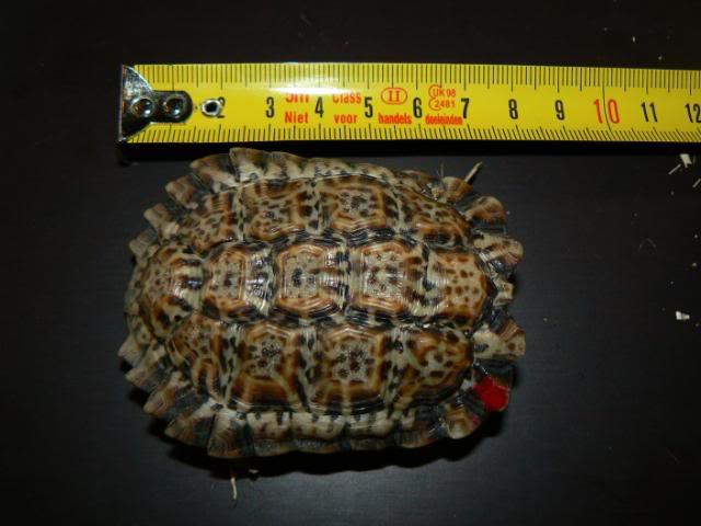 Homopus signatus P1090453