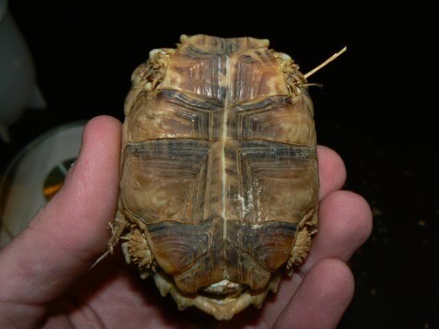 Homopus signatus P1090454