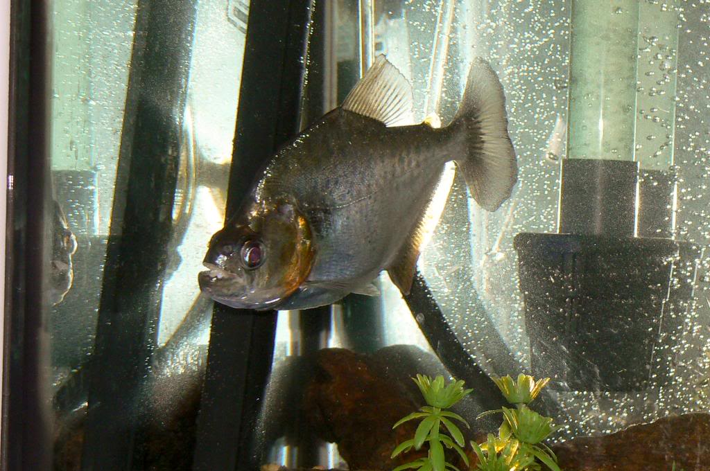 Looking for a positive ID on a Serrasalmus species. LRfish41of1