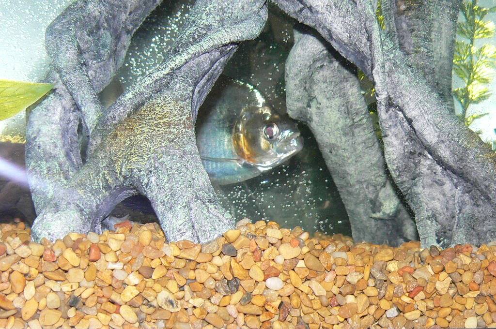 pics of my fish Picture445