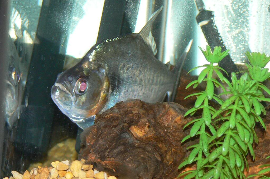 pics of my fish Picture531