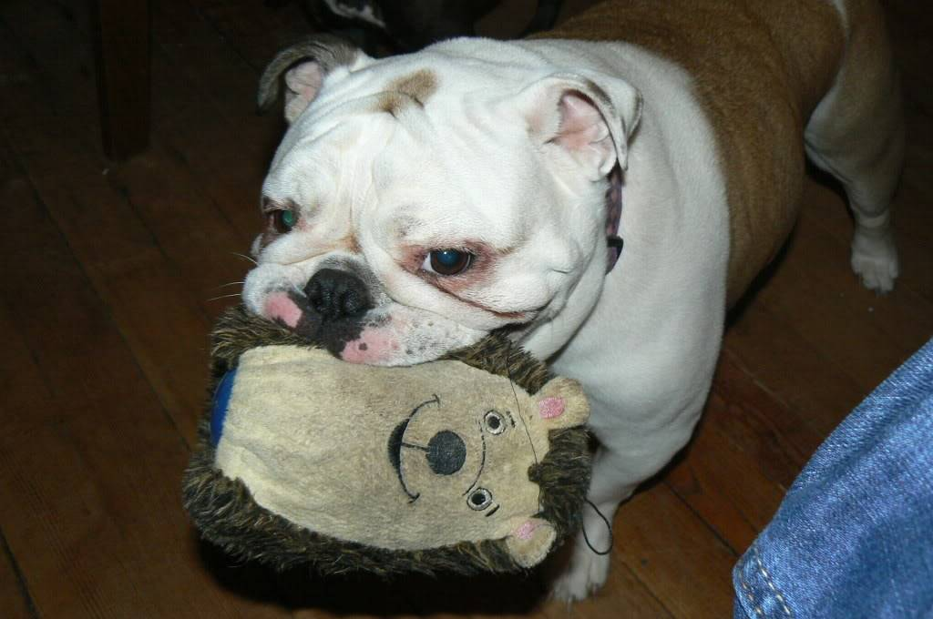 Pics of my two bulldogs Picture742-1