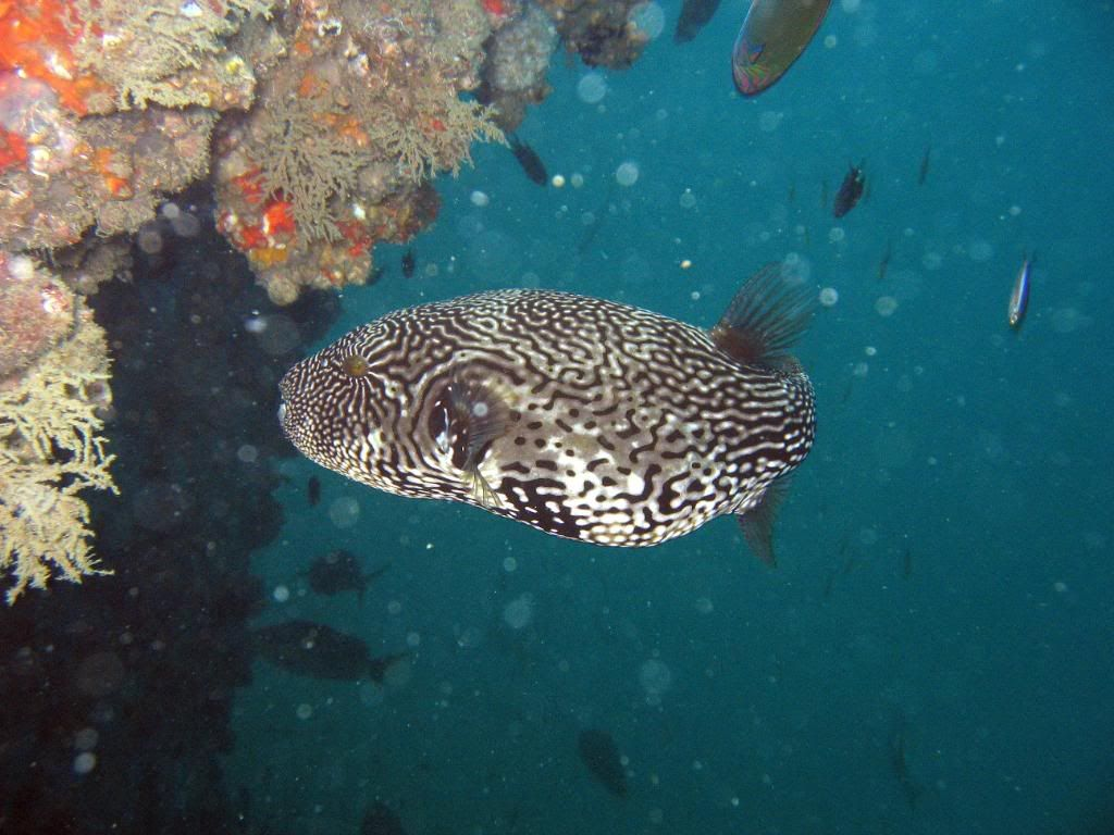SCUBA diving in the gulf of Thailand (pics) DivingPics030