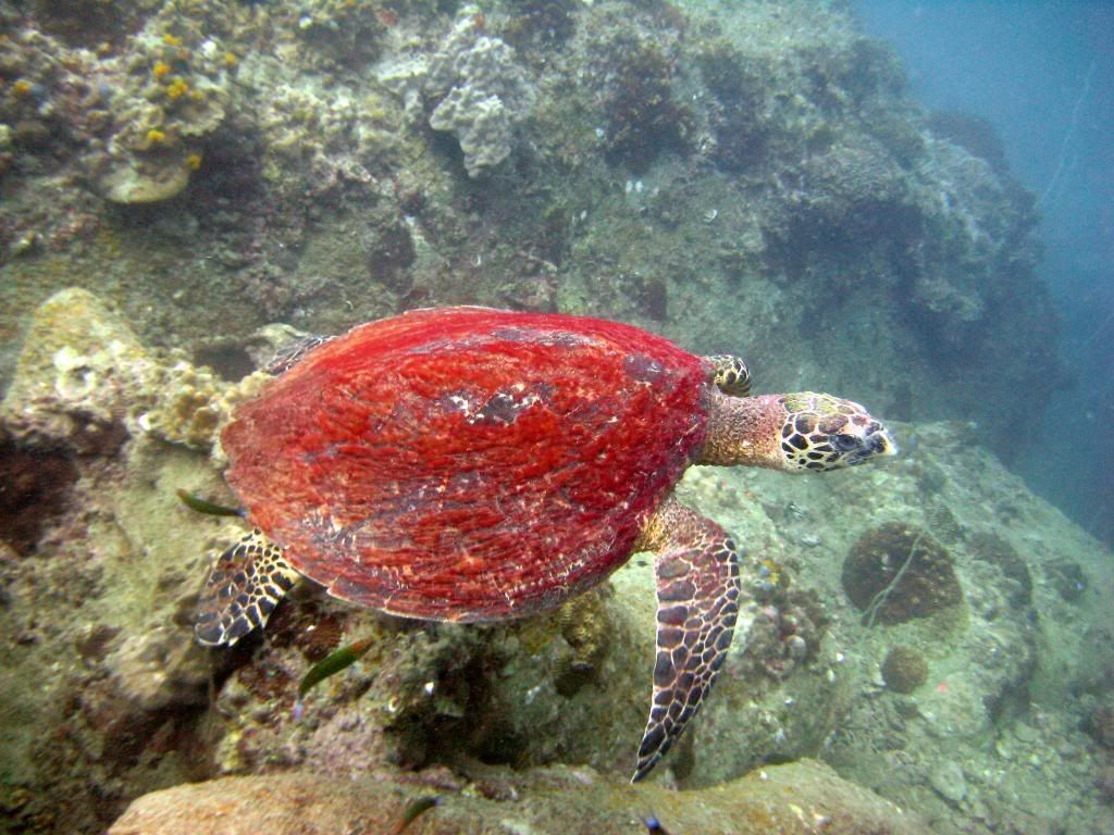 SCUBA diving in the gulf of Thailand (pics) IMG_0388-1