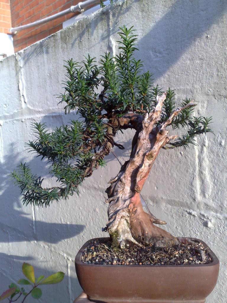 Another Shohin Yew Wiring Bonsai