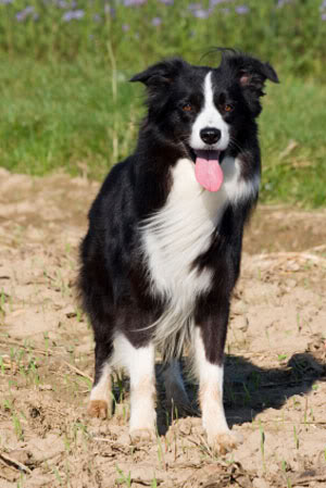 BORDER COLLIE GIONG CHO THONG MINH NHAT THE GIOI Border_collie3