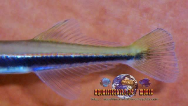 Xenentodon cancila 100_8679