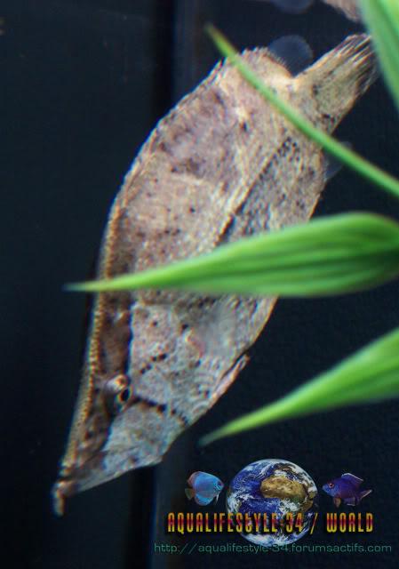 Monocirrhus polyacanthus 100_9340
