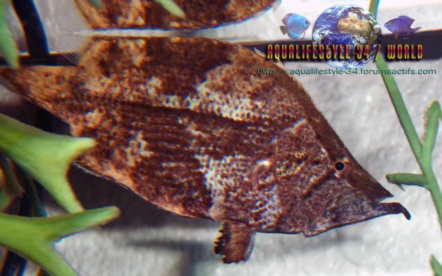 Monocirrhus polyacanthus 100_9388