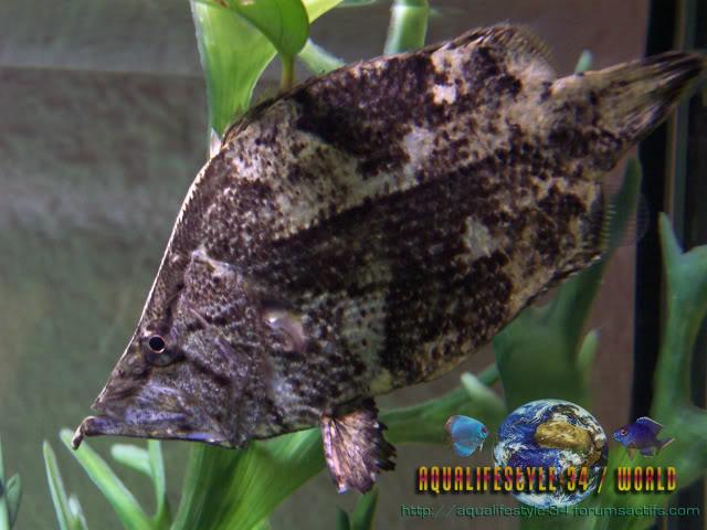 Monocirrhus polyacanthus 100_9413