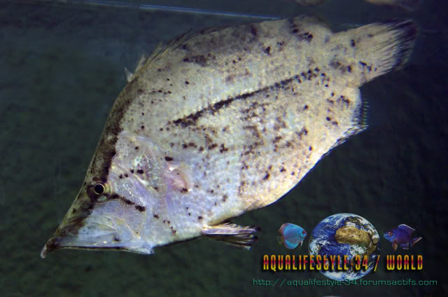 Monocirrhus polyacanthus 100_9511