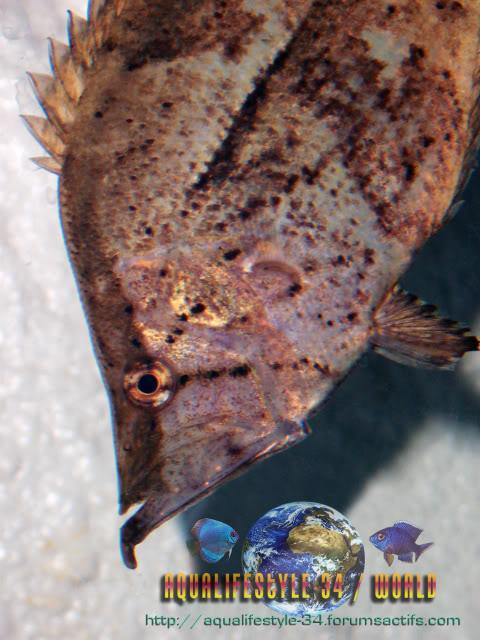 Monocirrhus polyacanthus 100_9523
