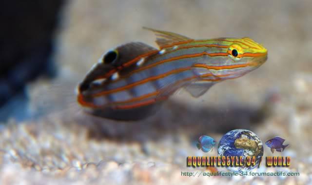 Amblygobius rainfordi Amblygobiusrainfordi5