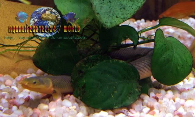 Erpetoichthys calabaricus DSCF4949