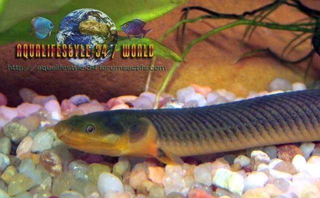Erpetoichthys calabaricus DSCF4954