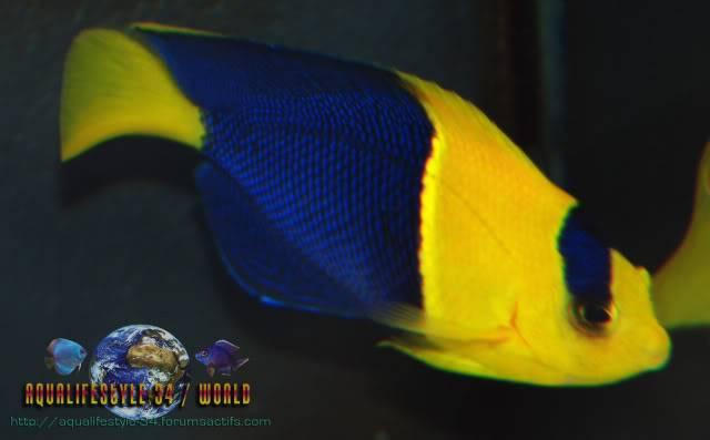 Centropyge bicolor DSC_0091