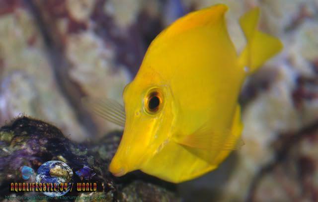 Zebrasoma flavescens DSC_0095