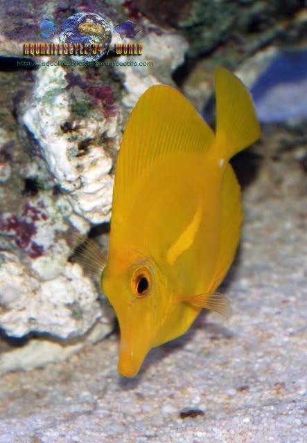 Zebrasoma flavescens DSC_0124