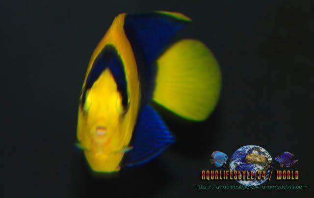 Centropyge bicolor DSC_0146