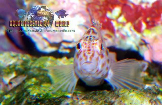 Cirrhitichthys oxycephalus DSC_0328