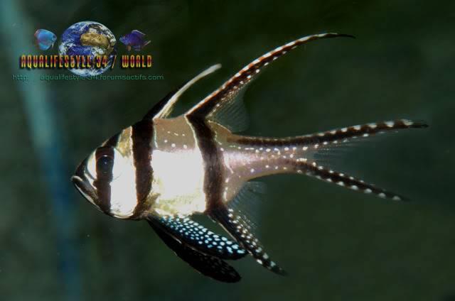 Pterapogon kauderni DSC_0330