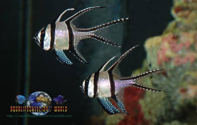 Pterapogon kauderni DSC_0331