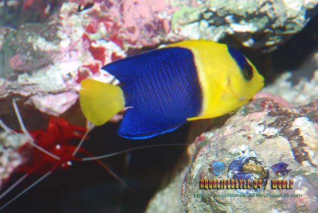 Centropyge bicolor DSC_0334