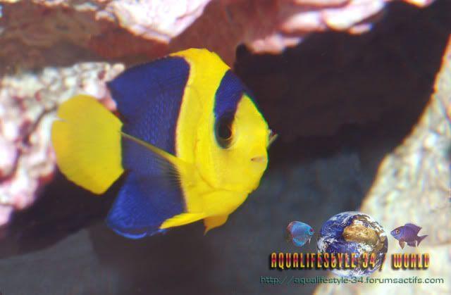 Centropyge bicolor DSC_0335