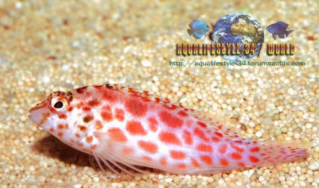 Cirrhitichthys oxycephalus DSC_0339