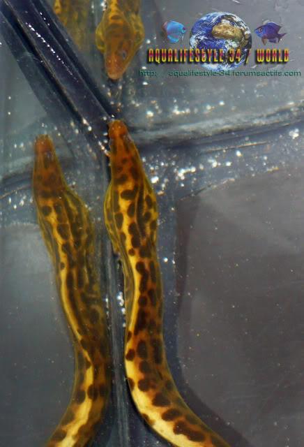 Gymnothorax polyuranodon P1010078
