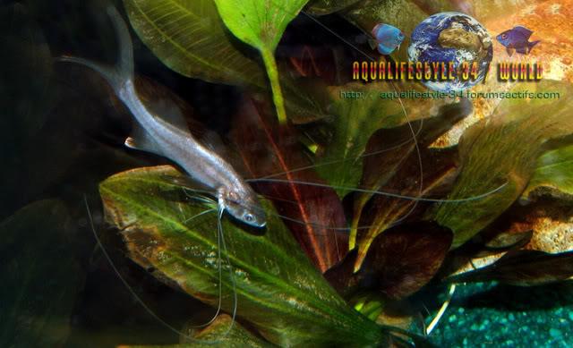 Le Polynemus Multifilis : PolynemusMultifilis3