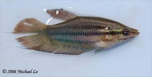 Trichopsis vittata: Trichopsisvittatus
