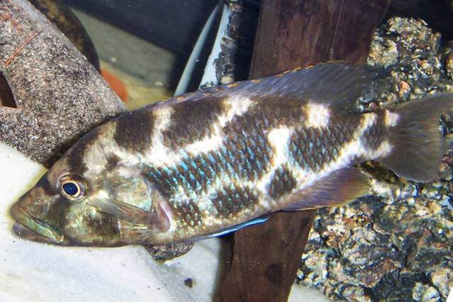 Photos de Cichlides du Malawi Nimbochromispolygstimamle