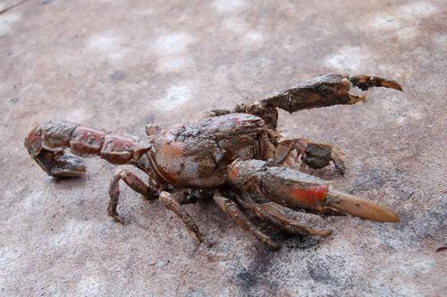 Thalassina anomala  - mud lobster LandprawnB1005