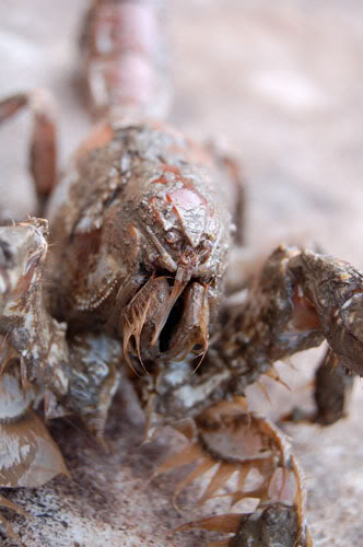 Thalassina anomala  - mud lobster LandprawnC1005