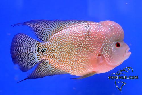 Fish-Hub Competition 2008 - Flower Horn & Goldfish 2NDRUNNERUPB