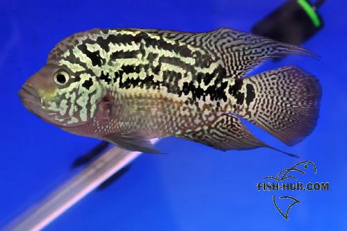 Fish-Hub Competition 2008 - Flower Horn & Goldfish BESTFLOWERSTRIPED
