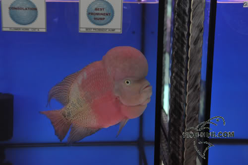 Fish-Hub Competition 2008 - Flower Horn & Goldfish CONSOLATIONBESTPROMINENTHUMP