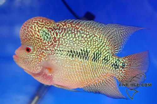 Fish-Hub Competition 2008 - Flower Horn & Goldfish GRANDCHAMPION