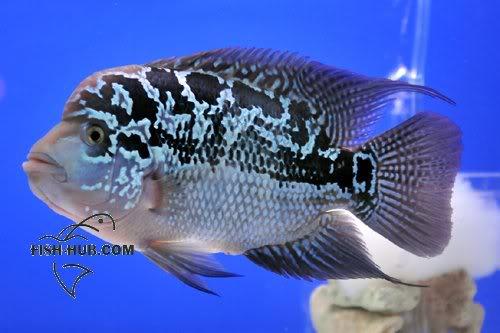 Fish-Hub Competition 2008 - Flower Horn B Fishhub200812