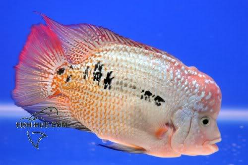 Fish-Hub Competition 2008 - Flower Horn B Fishhub200813
