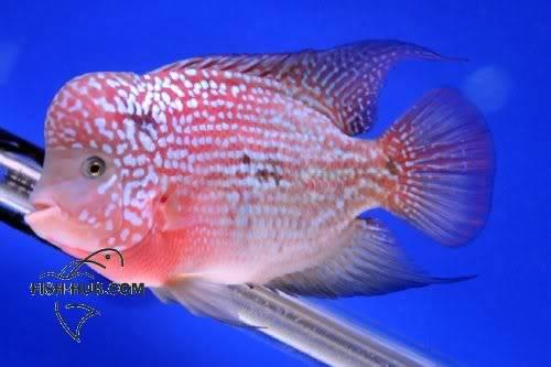 Fish-Hub Competition 2008 - Flower Horn B Fishhub200814